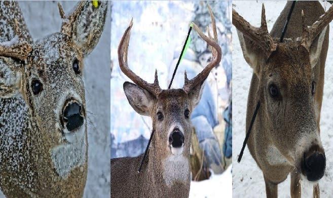 Carrot, el ciervo que vive con una flecha clavada en la cabeza