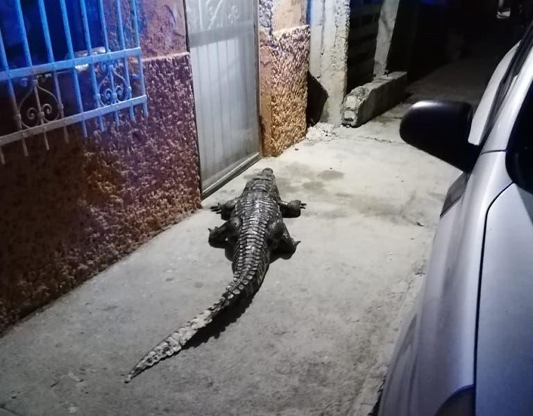 Enorme cocodrilo visita a habitantes de la colonia Revolución de Progreso