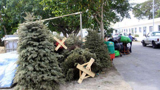 Abren centros de acopio para reciclar pinos naturales navideños en Mérida