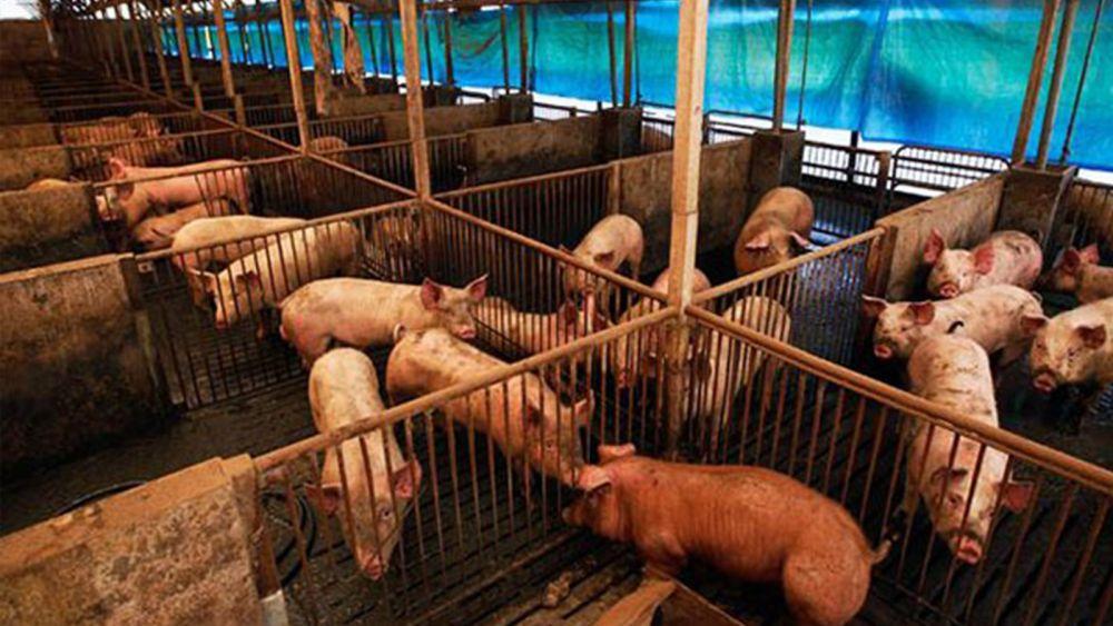 Alerta en Quintana Roo por enfermedad detectada en porcinos