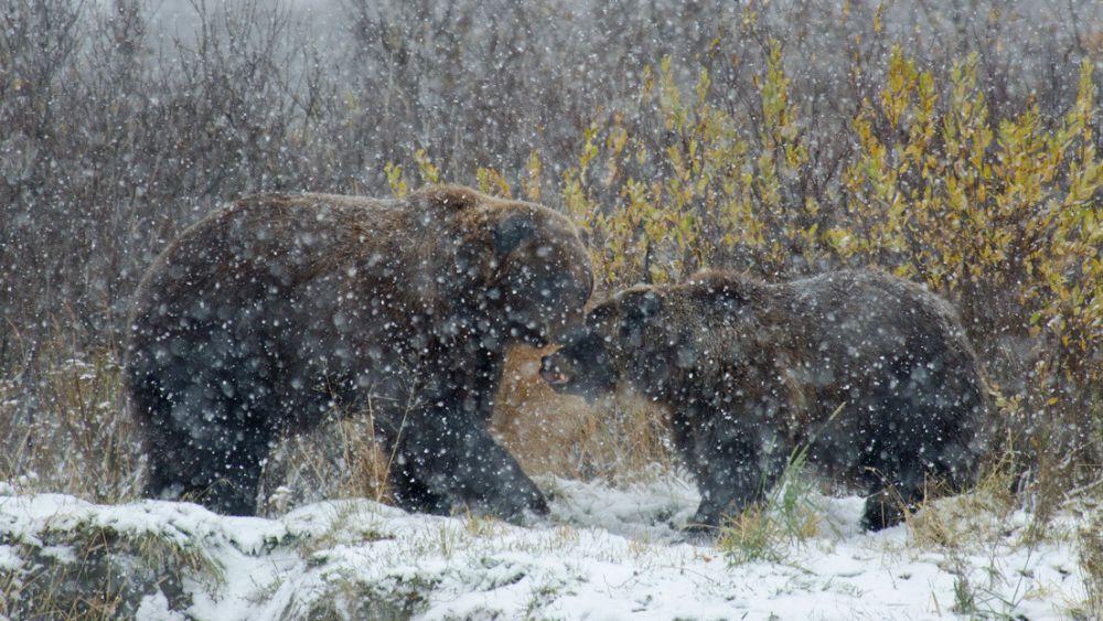 Captan a un cachorro de osezno que se emociona al ver caer la nieve