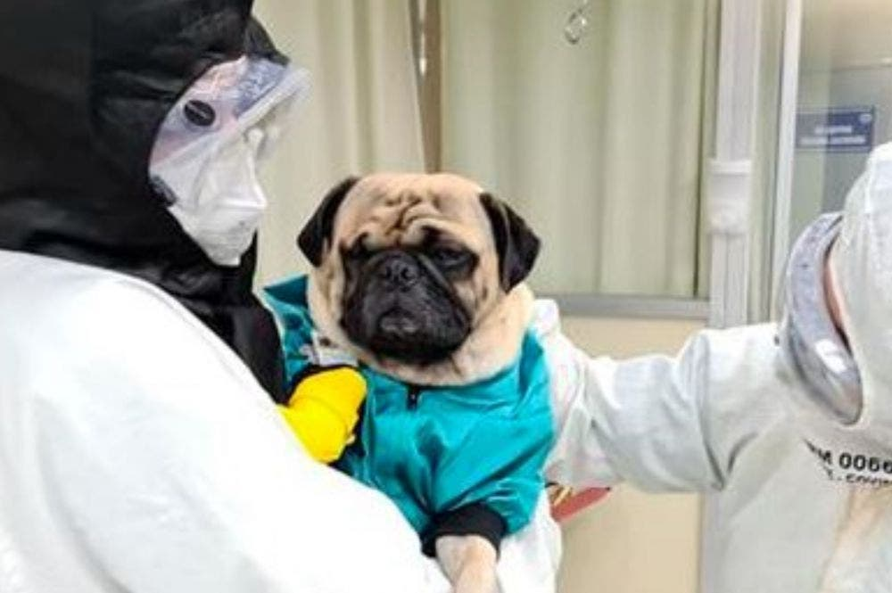 Para aliviar el estrés, perro pug visita a enfermeros del ISSSTE en Mérida