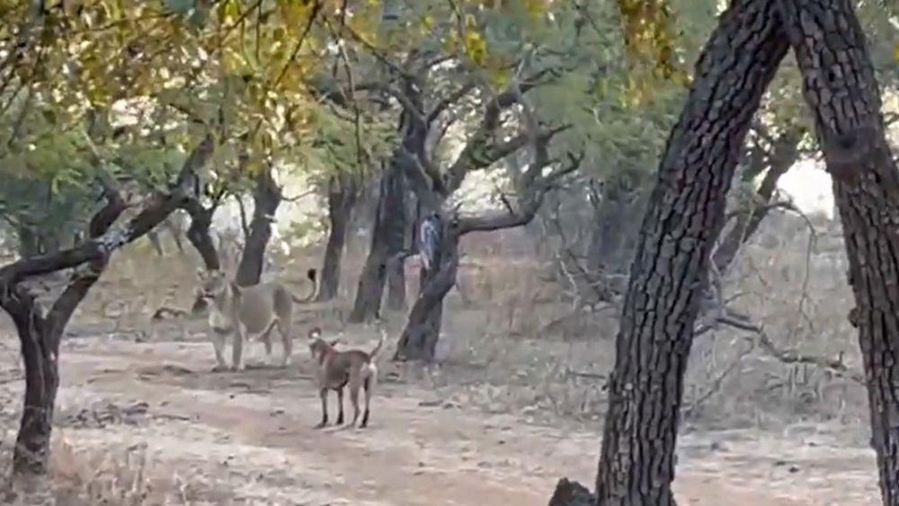 Video: Perrito callejero se enfrenta a una leona y sale victorioso