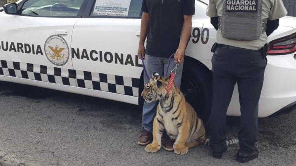 Incauta Guardia Nacional un tigre de Bengala a automovilista