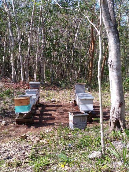 Producción miel, esperanza de campesinos en la Zona Maya; el sector apícola de FCP cerró el año pasado con pérdidas de hasta el 60% de las colmenas.
