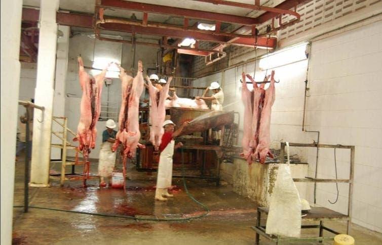Detectan en Chetumal cerdos con enfermedad pulmonar desconocida.