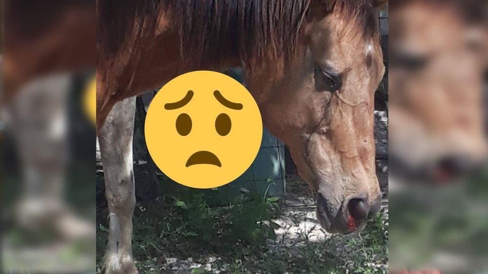 Denuncian maltrato y sufrimiento de caballos en Cancún