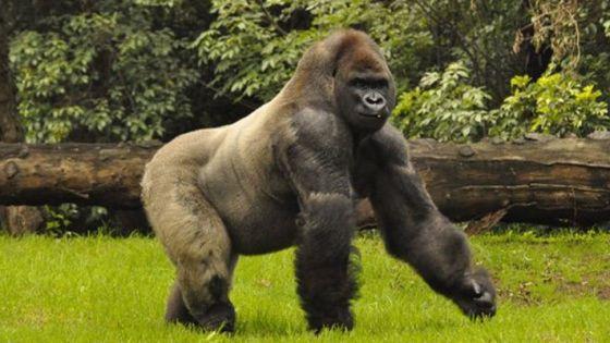 Gorilas dan positivo a covid-19 en un zoológico
