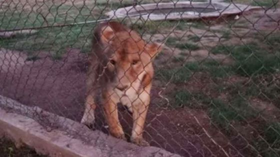 FGR asegura leones y tigres de bengala en Sonora
