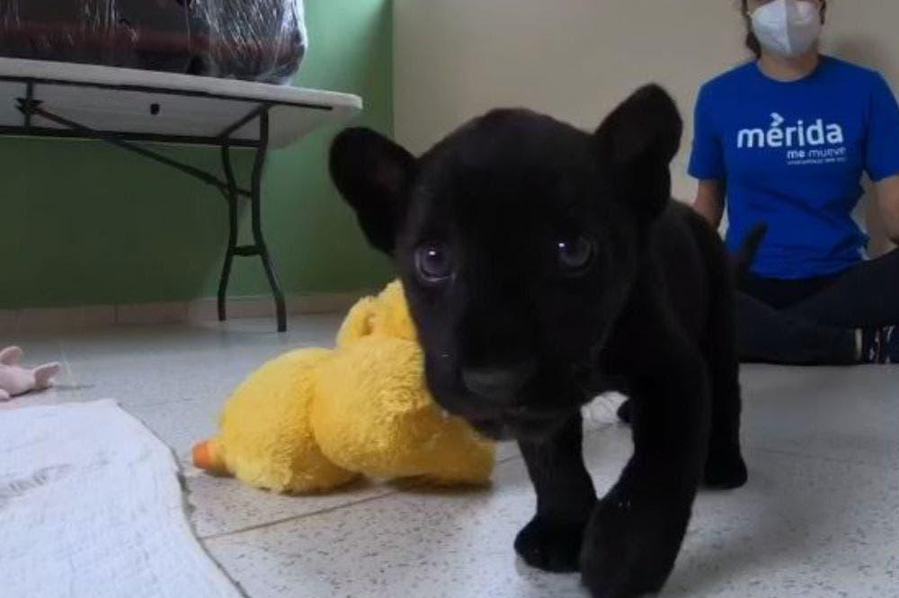 Nace cría de jaguar melánico; informa Zoológico del Centenario