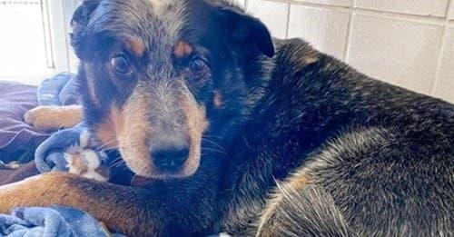 Sin duda alguna los perros son incondicionales y hacen lo posible por ayudar a sus familia humana, ese es el caso de Baby Dog
