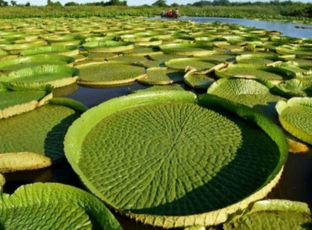 La planta acuática más grande del mundo y en vías de extinción, rebrotó con las abundantes lluvias registradas en Paraguay