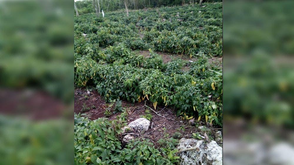Campesino clama por apoyo para comercializar su cosecha