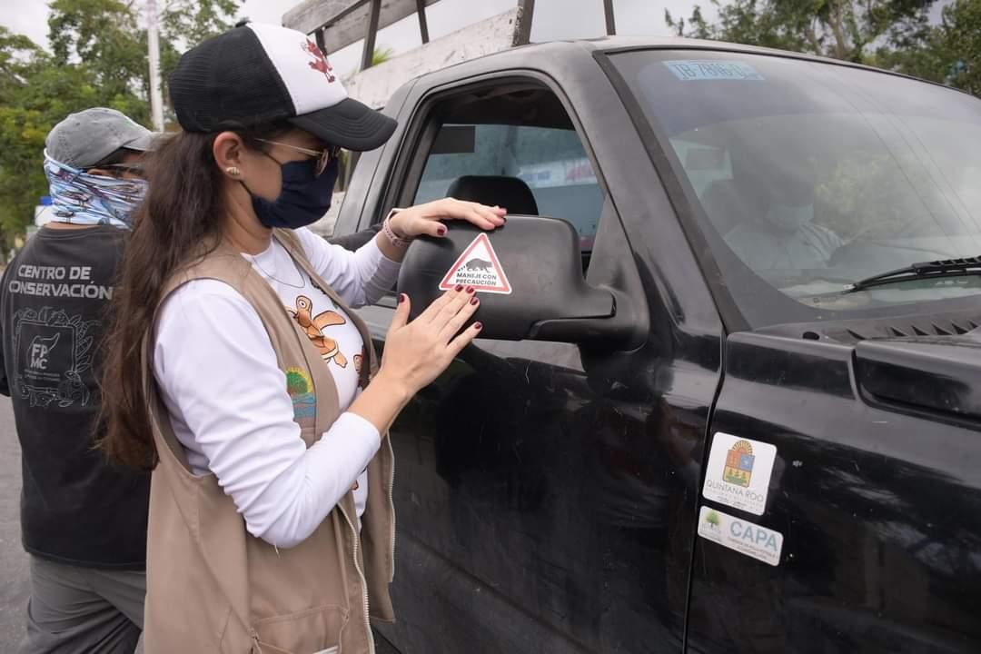 """En Cozumel lanzan programa """"Maneja con precaución y salva fauna silvestre""""; realiza la FPMC campaña de concienciación entre automovilistas."""
