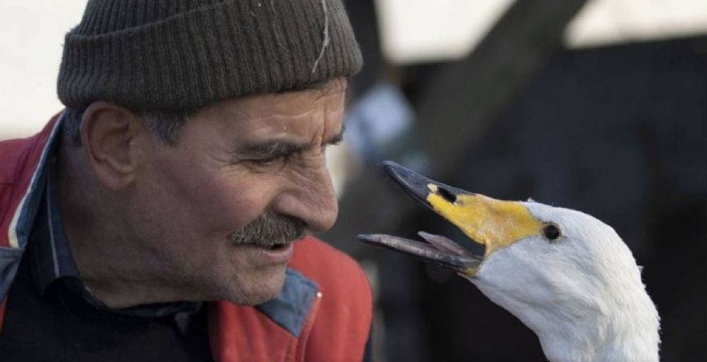 La suerte de un cisne que se encontraba herido de un ala cambió radicalmente, cuando fue rescatado por un cartero