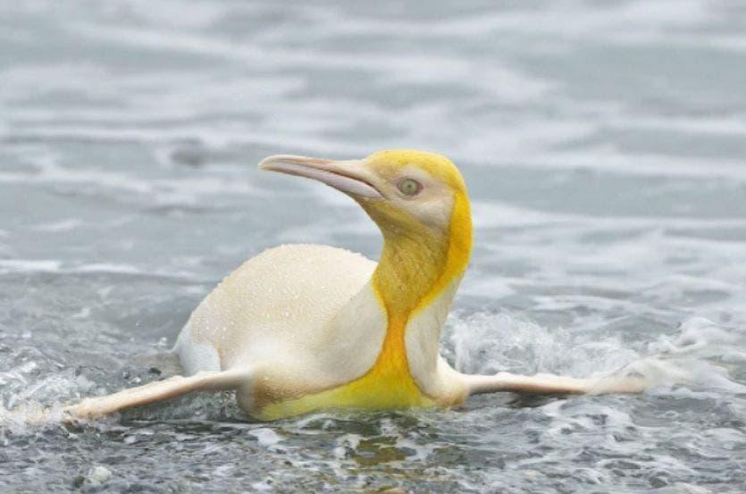Las imágenes de un raro pingüino que fue captado por el fotógrafo Ives Adams, ha cautivado las redes sociales