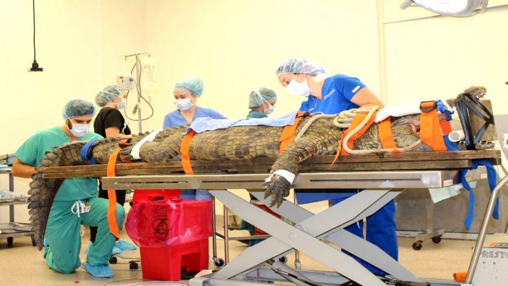 Video: Veterinarios extraen un zapato del estómago de un cocodrilo