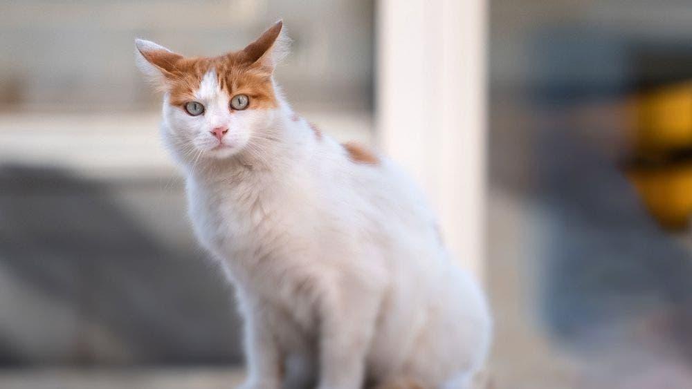 Un gato ha ganado fama en redes sociales, debido a que aprendió a comunicarse con su dueña, tiene infinidad de seguidores en redes sociales