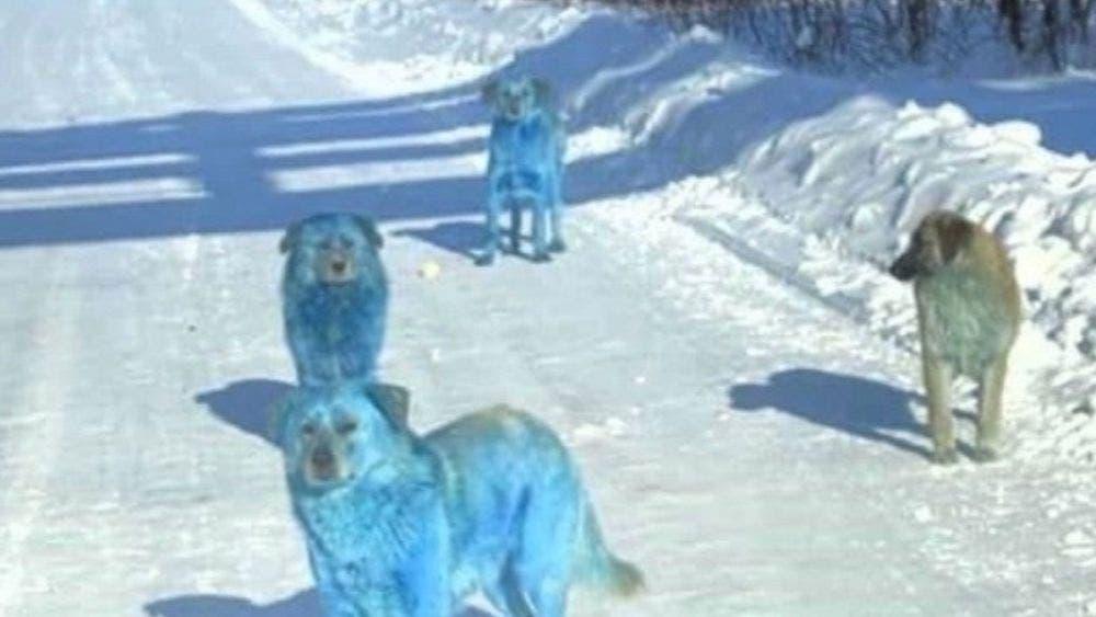 Las fotografías de una manada callejera de perros azules brillantes se viraliza en las redes sociales, causando sensación en redes sociales