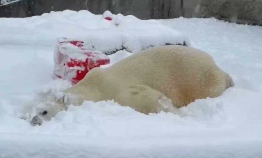 En redes sociales circula un video en donde animales de un zoológico de Estados Unidos, se divierten aprovechando las intensas nevadas.