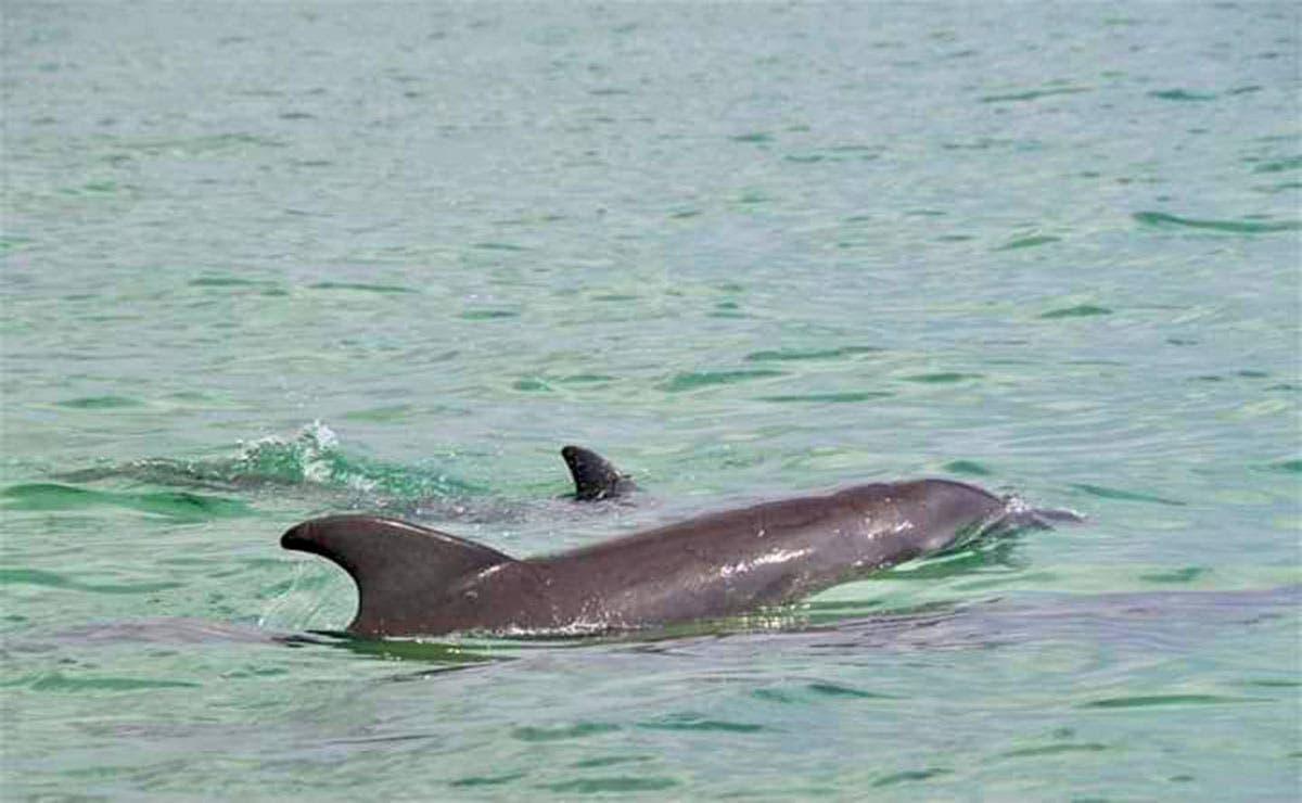 En redes sociales circulan las fotografías de una familia de delfines que fueron captadas en la Bahía de Chetumal.