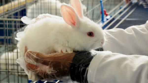 Advierten que puede llegar enfermedad hemorrágica de conejos a Yucatán