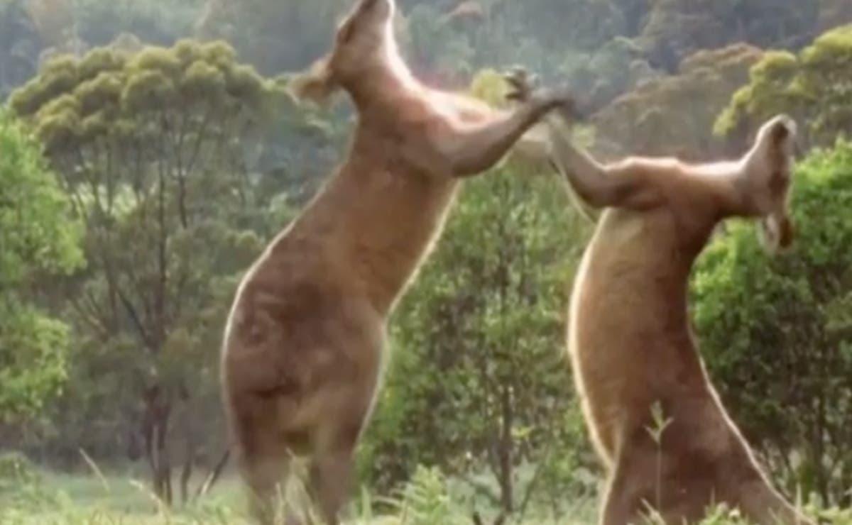 Video: Brutal pelea entre canguros, mejor que la del Canelo!!