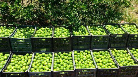 Repunta precio del limón para agricultores de JMM
