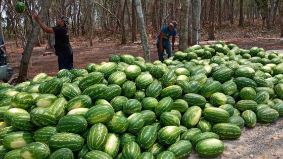Inicia cosecha de sandía en un predio del ejido de Kantunilkín.