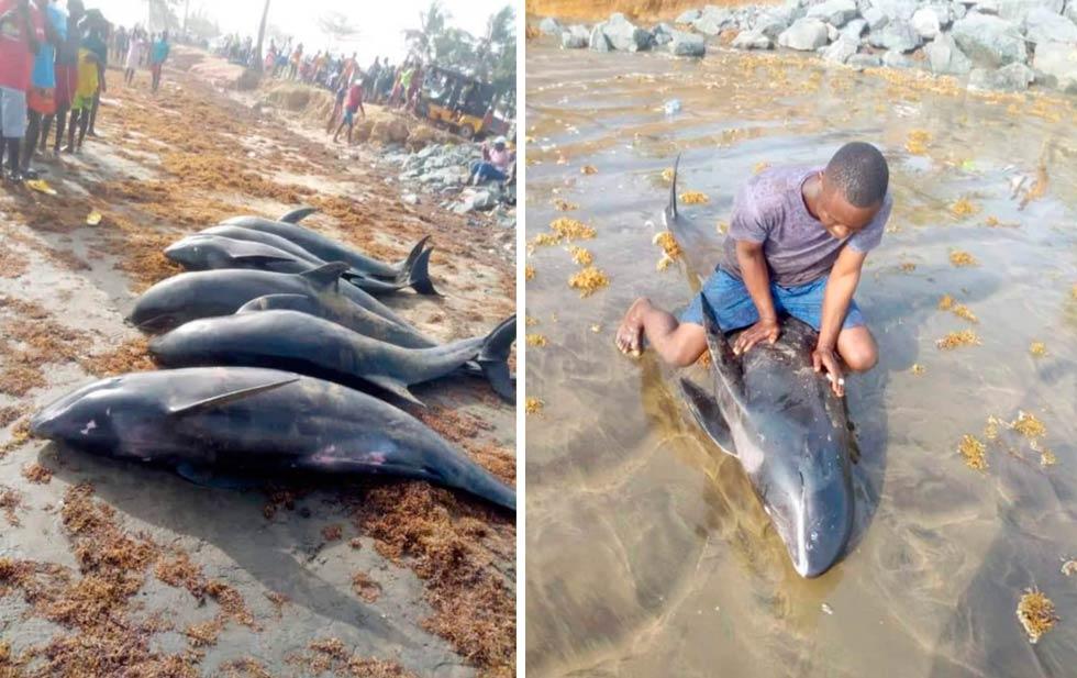 Mueren 60 delfines y otras especies en playas de Ghana.