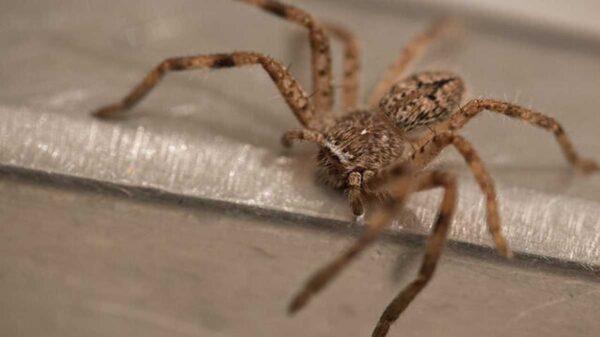 Una enorme araña embarazada que presentaba problemas para dar a luz fue ayudada por una mujer entusiasta de la entomología