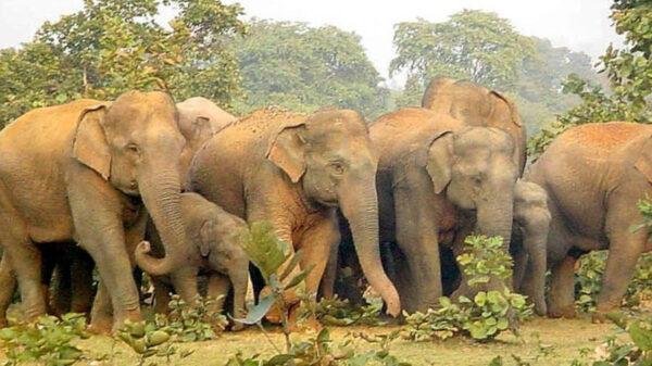 Muere cazador aplastado por una manada de elefantes