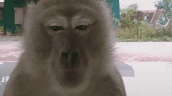 Un travieso mono la rompe en TikTok, quien se hiciera viral tras robarse un celular de dos chicas que grababan un video para la popular plataforma