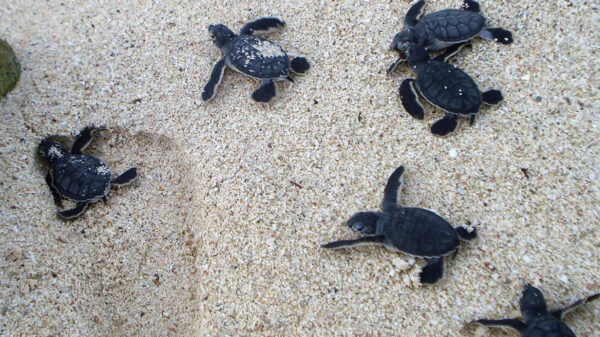 Puerto Morelos listo para temporada de anidación de Tortugas Marinas