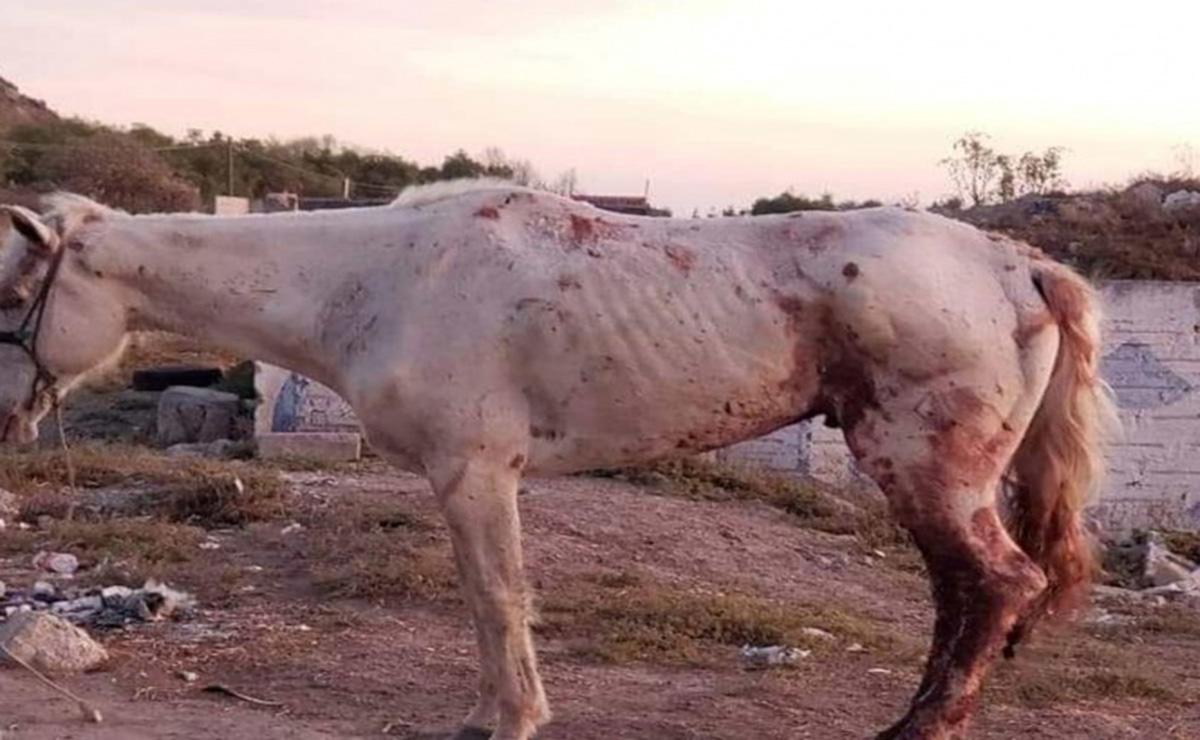 Quince caballos y dos asnos que serían rescatados, fueron extraídos del lugar donde se encontraban hacinados