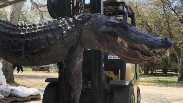 Una gran cantidad de objetos, algunos extraños fueron extraídos del estómago de un enorme cocodrilo capturado en Estados Unidos