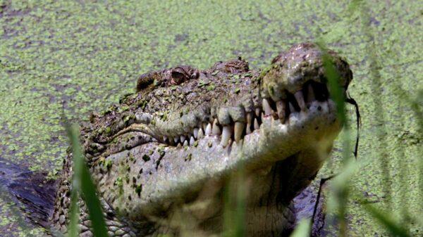 La imagen de un cocodrilo gigante que atrapa y destroza un enorme pez barramundi se viraliza