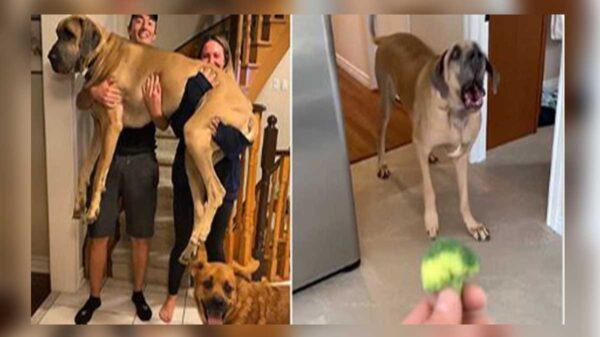 A veces las apariencias engañan y si no pregúntenle a una pareja canadiense, quienes adquirieron un hermoso cachorro a quien nombraron Brewsk