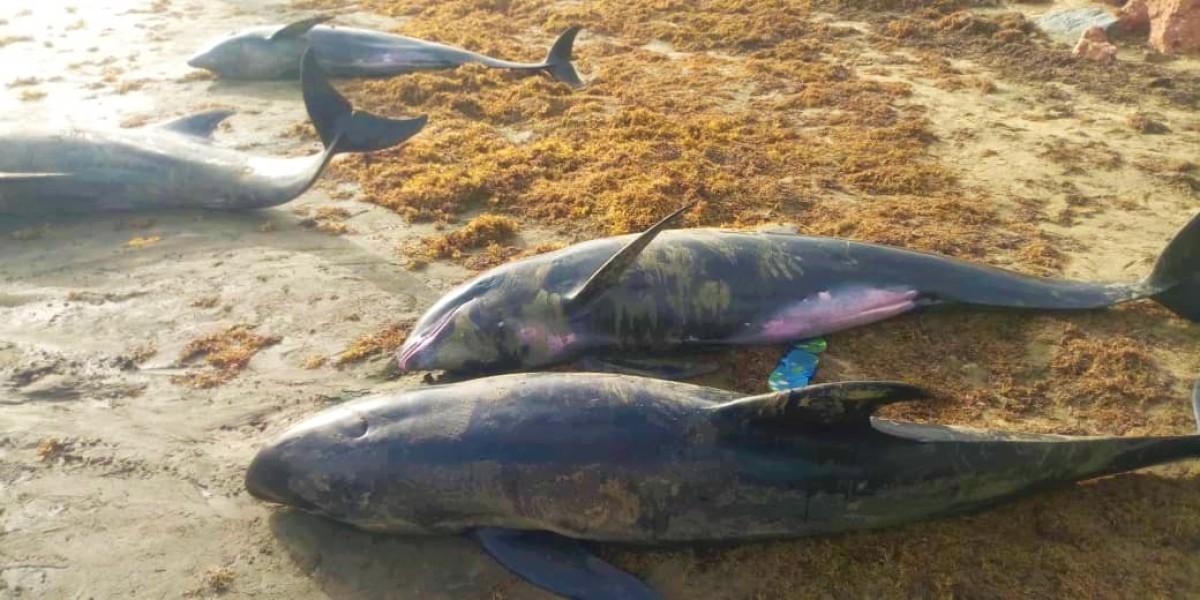 Mueren 60 delfines y otras especies en playas de Ghana; autoridades de Pesca detalló que se enviaron a un laboratorio varias muestras.