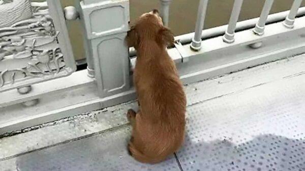En redes sociales se populariza la historia de un peludo quien fue captado sentado en el pavimento del puente Yangtze, en China