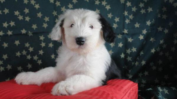En peligro de extinción el perro pastor inglés