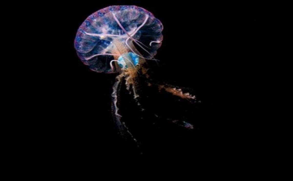"""Fragmentos de plástico descubiertos en el interior de una medusa de la especie """"pelagia noctiluca"""" por en evidencia la grave contaminación"""