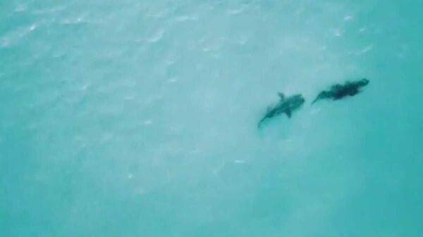 En video fue captado un tiburón cuando perseguía a un cocodrilo con intención de devorarlo.