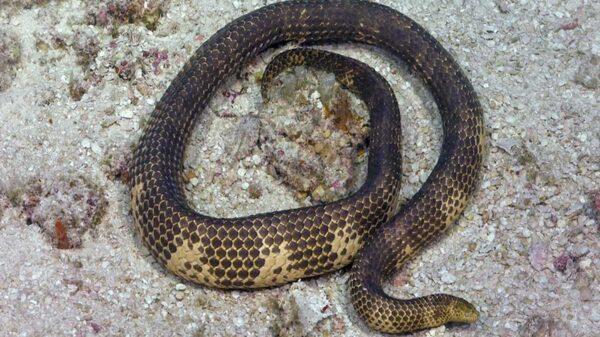 El avistamiento de una serpiente marina venenosa que fue considerada extinta por los científicos fue avistada nuevamente en Australia