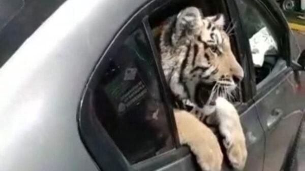 En redes sociales circula el video de un cachorro de tigre de bengala a bordo de un vehículo que circulaba por el malecón de Mazatlán, Sinaloa
