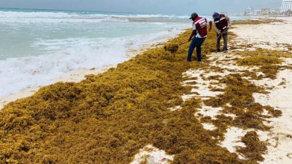 Combaten arribazón de sargazo a las playas de Cancún.