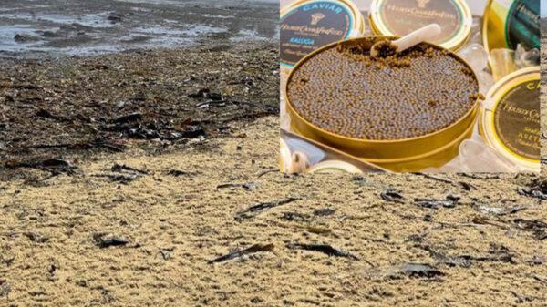 "Maná de lujo, recalan toneladas de ""caviar"" en playa de Rusia"