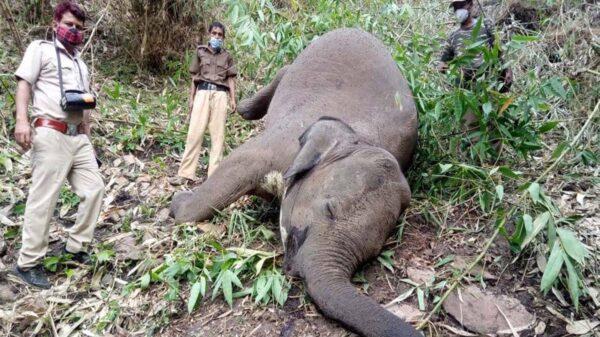 Por la caída de un rayo al menos 18 elefantes podrían haber muerto en el noreste de la India, informaron autoridades locales