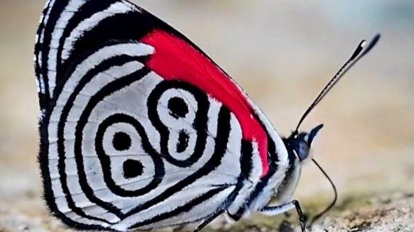 Captan a extraña mariposa con el número 88 plasmadas en sus alas