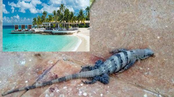 Acusan a hotel de Cozumel por masacre de iguanas